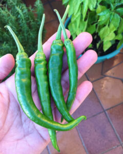 Green-Chillies-harvest
