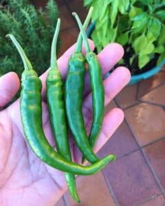 Green-Chillies-harvest