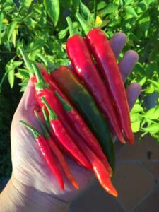 Red-chillies-harvest