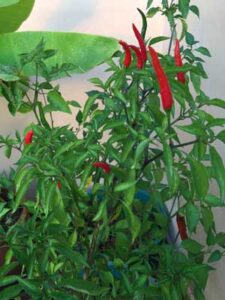 Red-chillies-on-plant
